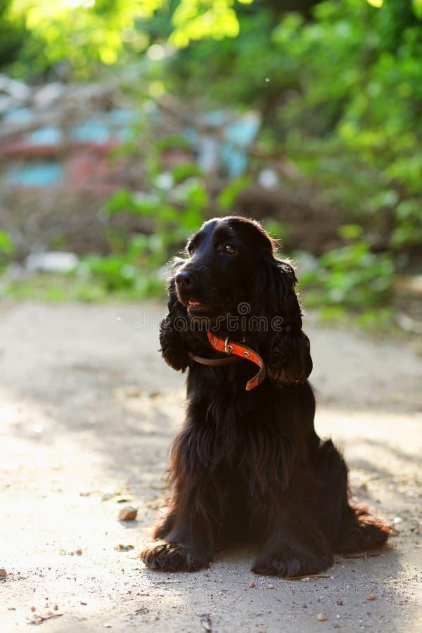 Cereja do cão preto fotos de stock royalty free
