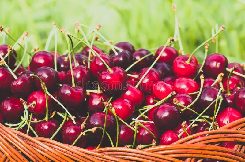 Cereja doce orgânica vermelha madura no jardim fotografia de stock