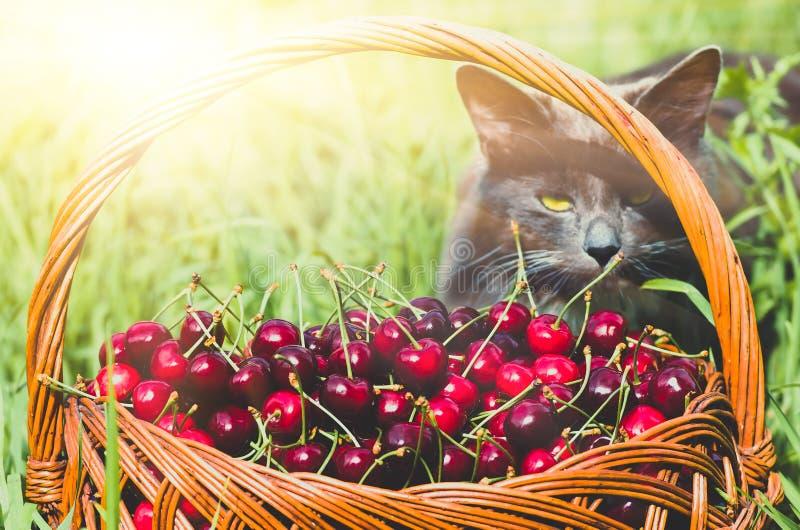Cereja doce orgânica vermelha madura no jardim foto de stock royalty free