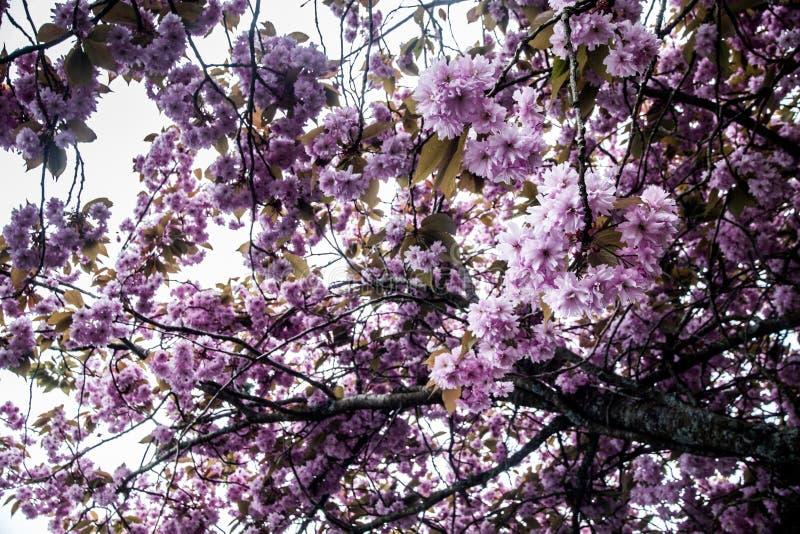 Cereja floresce na árvore fotografia de stock