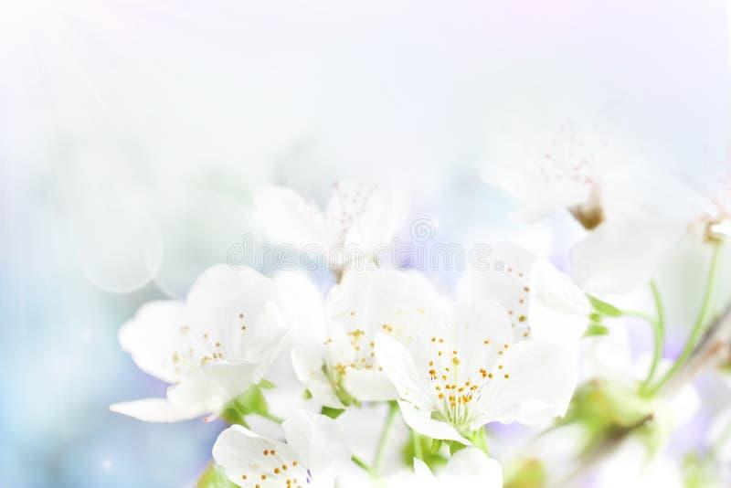 A cereja floresce o fundo