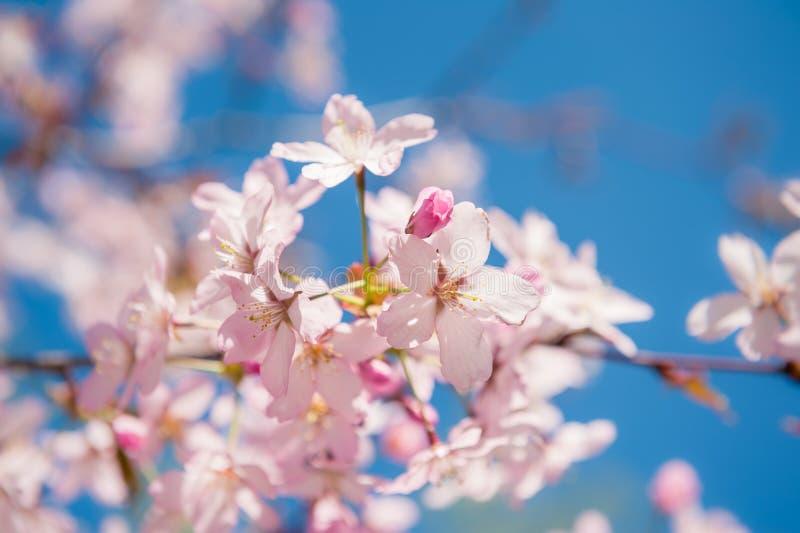 A cereja floresce Sacura fotografia de stock royalty free