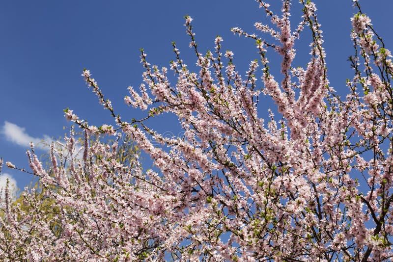 A cereja floresce Sacura no fundo do céu foto de stock royalty free