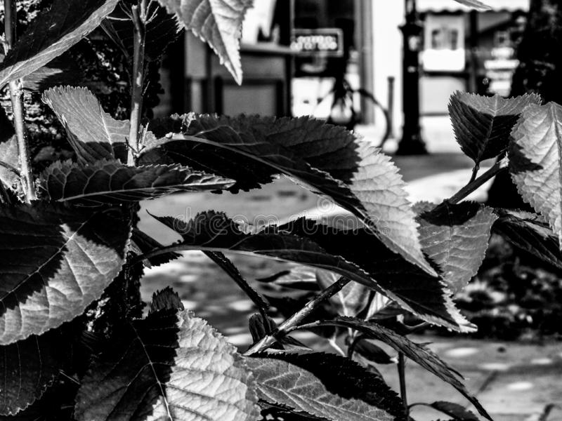 Cereja-folhas preto e branco monocromáticas foto de stock