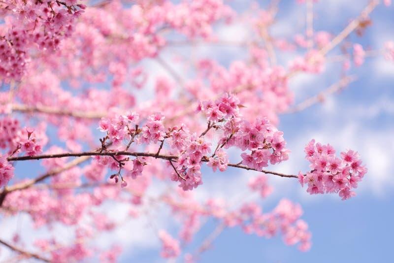 Cereja Himalaia selvagem (cerasoides do Prunus) na montanha de Phu Lom Lo foto de stock royalty free