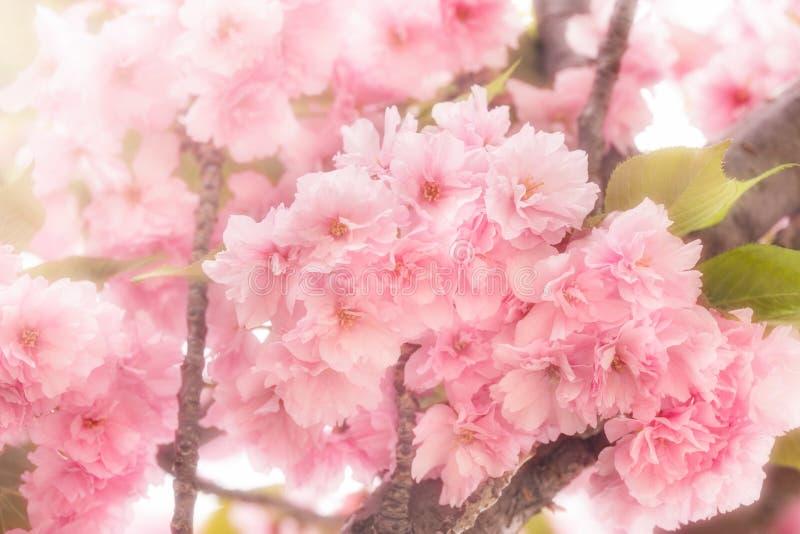 A cereja japonesa bonita floresceu - árvore de cereja de florescência fotografia de stock royalty free