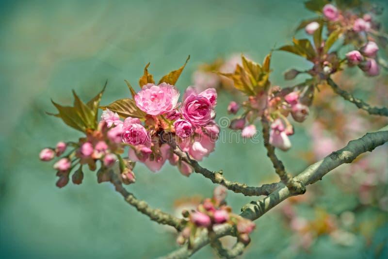 Cereja japonesa de florescência) foto de stock royalty free