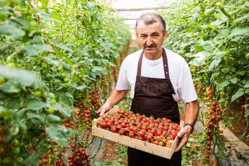 Cereja levando dos tomates do homem maduro feliz do fazendeiro em uma estufa imagem de stock