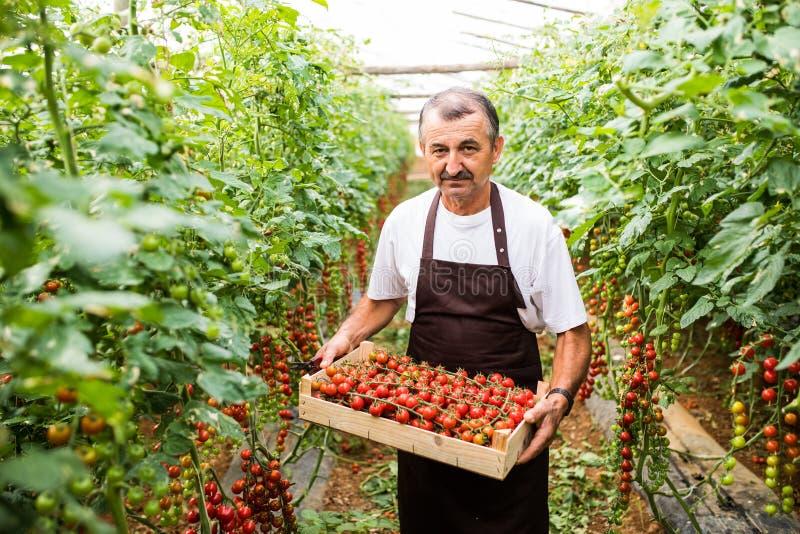 Cereja levando dos tomates do homem maduro feliz do fazendeiro em uma estufa imagens de stock royalty free