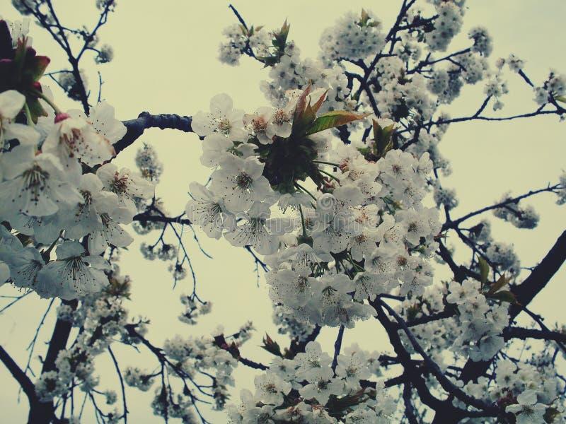 Cereja na flor imagem de stock royalty free