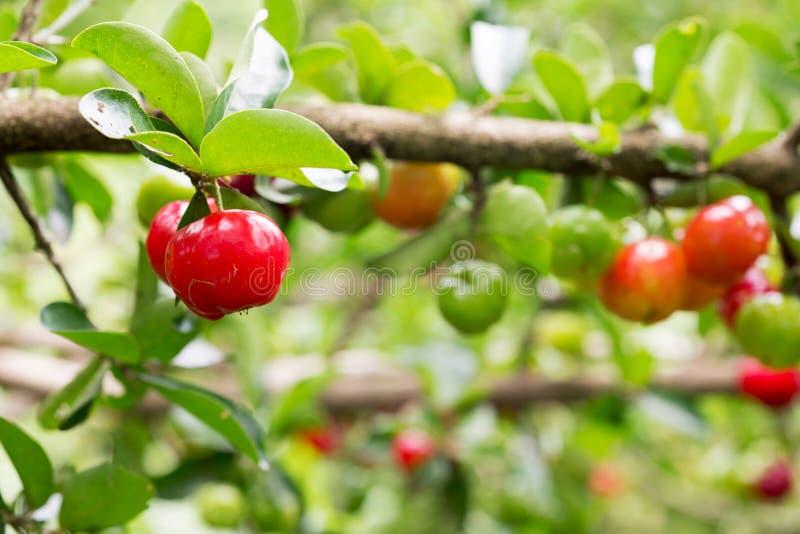 Cereja pequena do fruto brasileiro orgânico do Acerola foto de stock royalty free