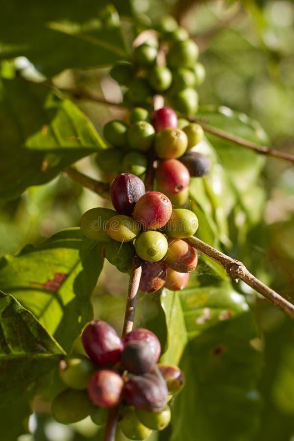 Cereja vermelha do café no ramo Feijões de café fotos de stock