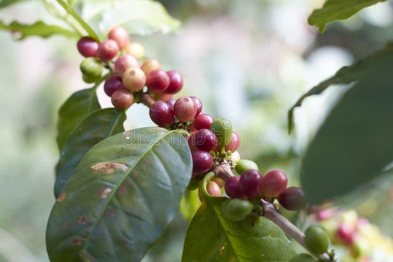 Cereja vermelha do café no ramo Feijões de café fotos de stock royalty free