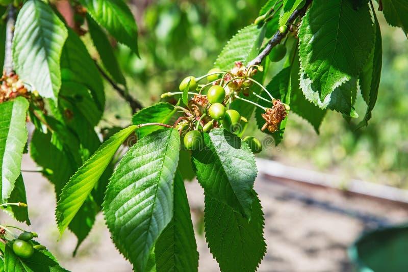 Cerejas de amadurecimento em uma árvore no jardim na exploração agrícola GR verde fotos de stock royalty free