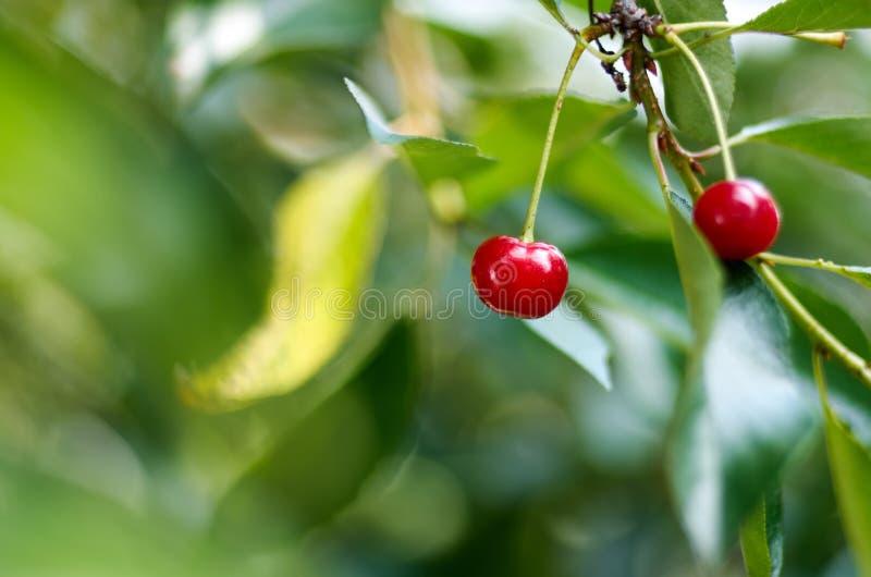 Cerejas de amadurecimento novas em uma árvore no jardim na exploração agrícola Fruto vermelho maduro Cultivo orgânico imagens de stock
