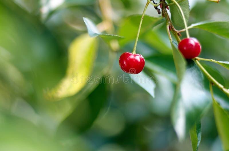 Cerejas de amadurecimento novas em uma árvore no jardim na exploração agrícola RASGO fotos de stock royalty free