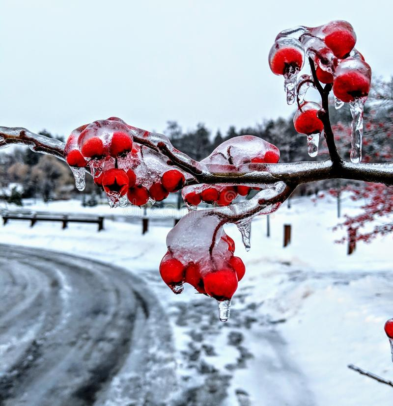 Cerejas de inverno imagem de stock