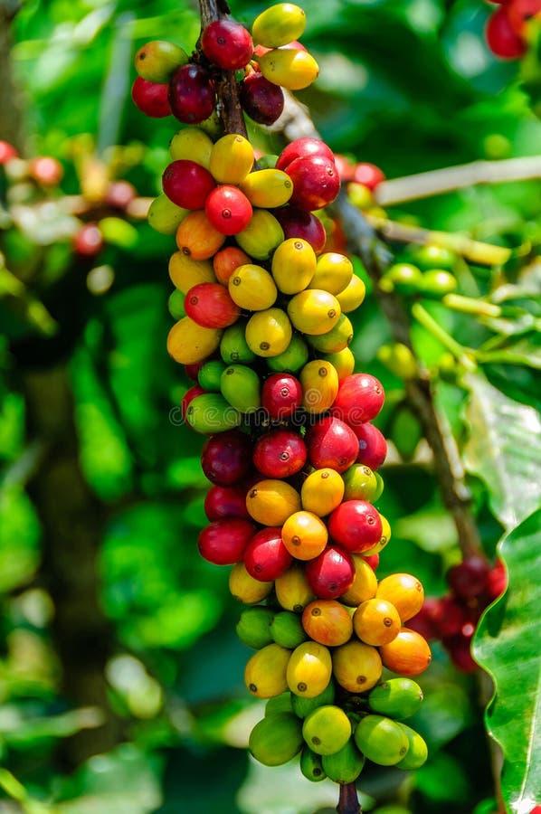 Cerejas do café imagem de stock