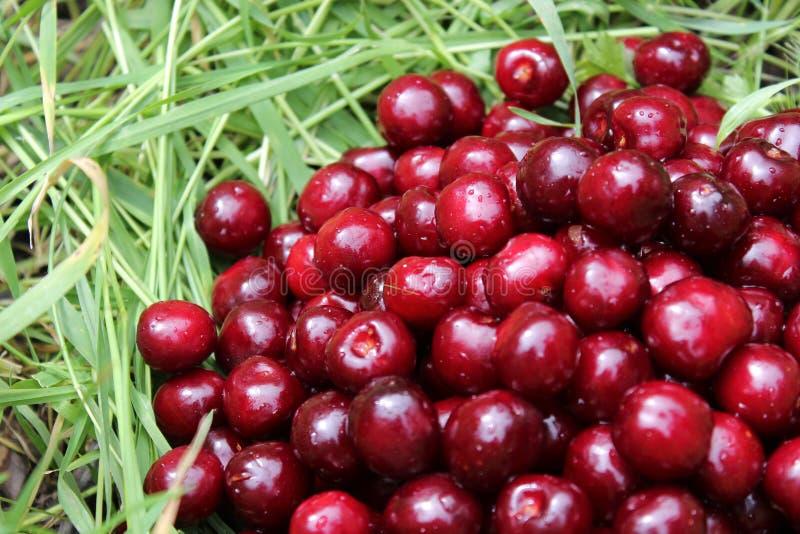 Cerejas doces em uma grama verde imagem de stock royalty free
