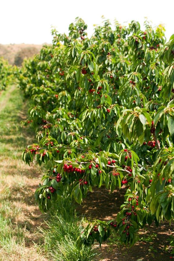 Cerejas em uma árvore imagens de stock