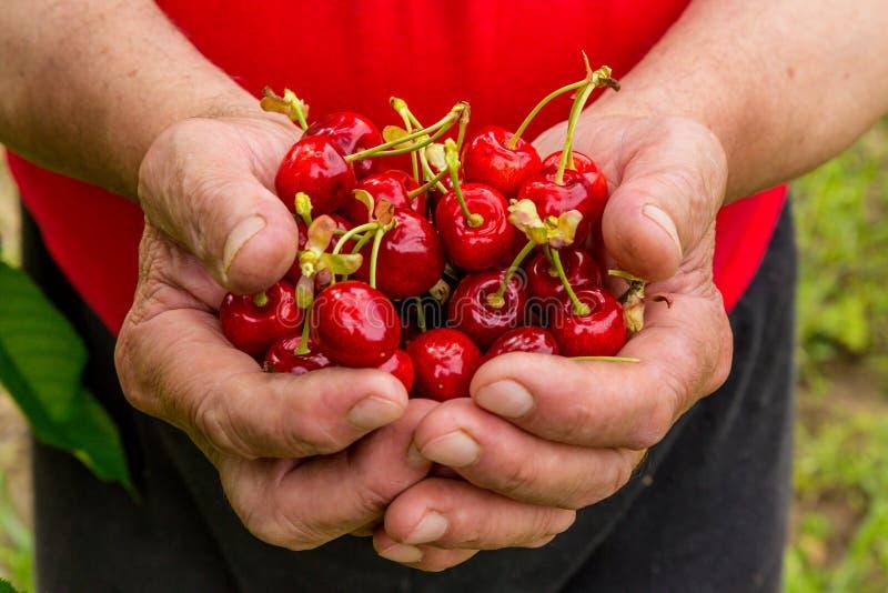 Cerejas frescas em uma mão de um ancião ilustração stock