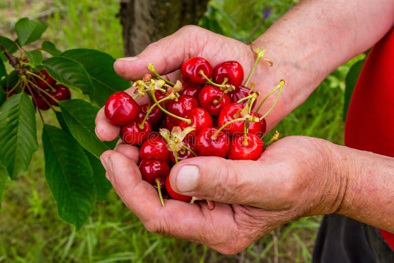 Cerejas frescas em uma mão de um ancião ilustração royalty free