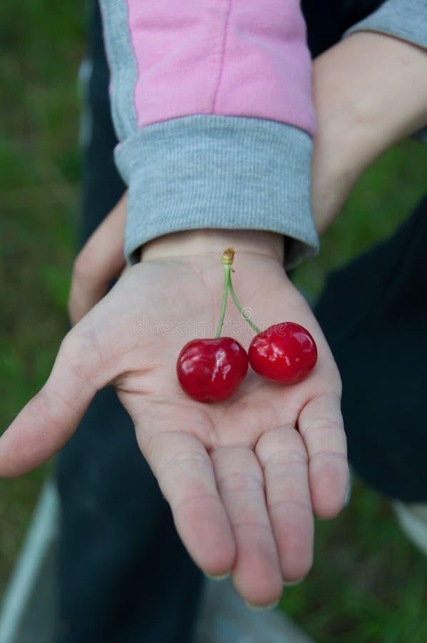Cerejas gêmeas frescas da árvore imagem de stock