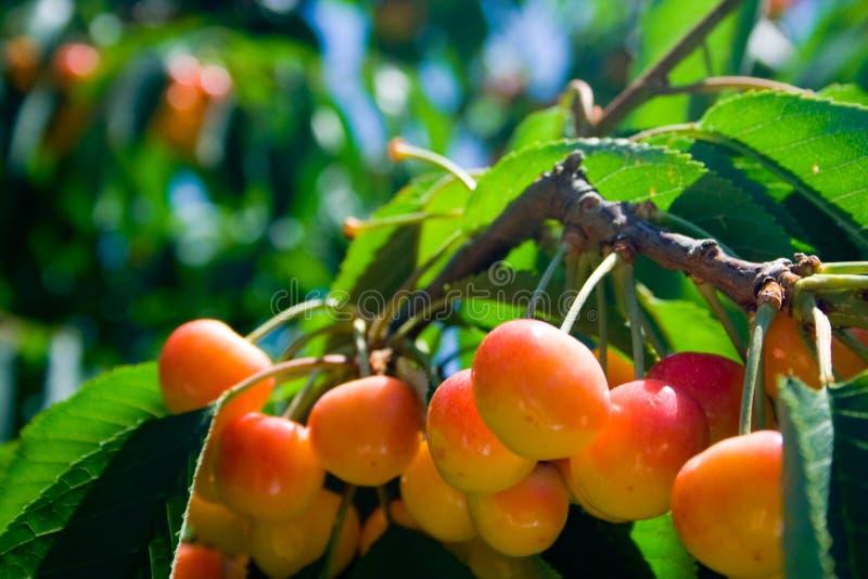 Cerejas mais chuvosas na árvore imagens de stock royalty free