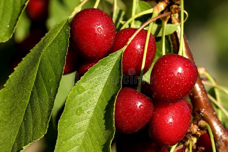 Cerejas molhadas em uma filial de árvore imagem de stock