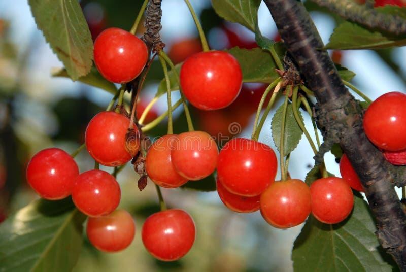 Cerejas na árvore fotografia de stock royalty free