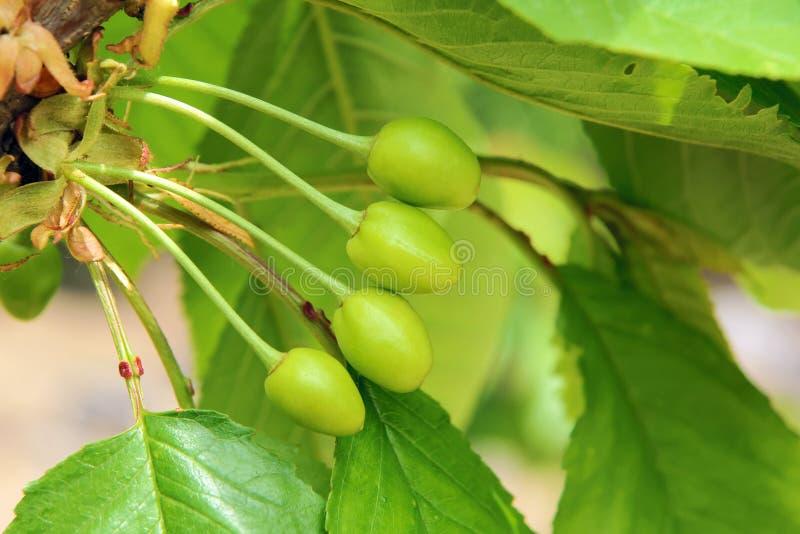 Cerejas verdes imagens de stock