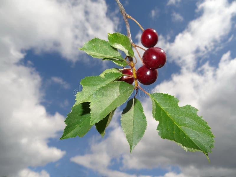 Cerejas vermelhas foto de stock