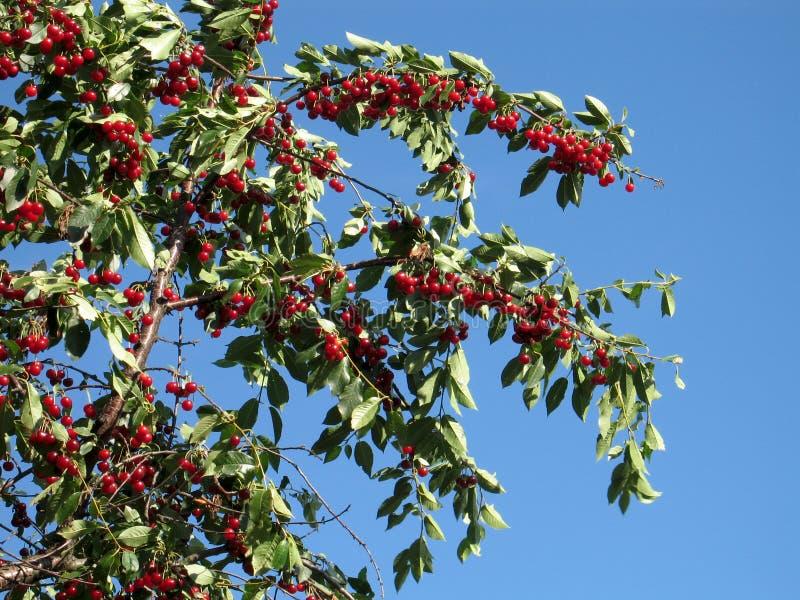 Cerejas vermelhas em uma árvore imagem de stock royalty free
