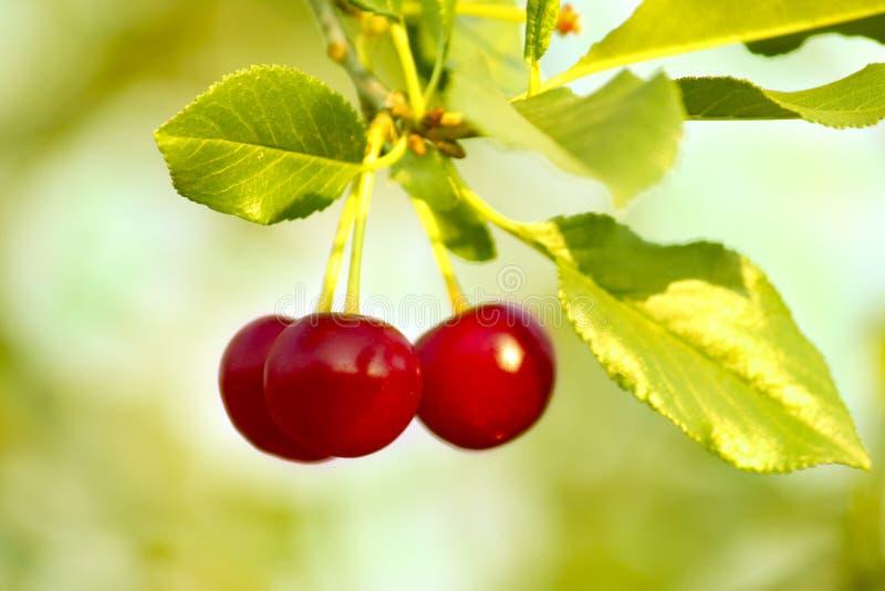 Cerejas vermelhas frescas maduras bonitas em um ramo em um dia ensolarado do verão com uma luz - close-up obscuro natural verde d fotos de stock royalty free