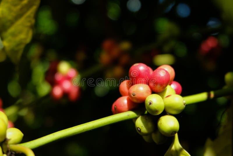 Cerejas vermelhas orgânicas do café, feijão de café cru no plano da árvore de café imagens de stock