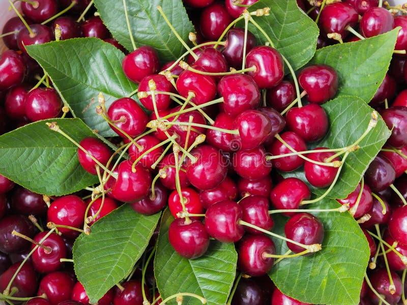 Cerejas vermelhas orgânicas recentemente recolhidas nas folhas verdes fruto do verão para o estilo de vida e a dieta saudáveis foto de stock