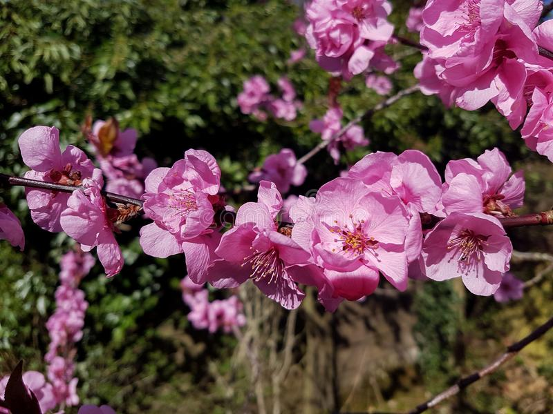 Cerejeira florescente foto de stock