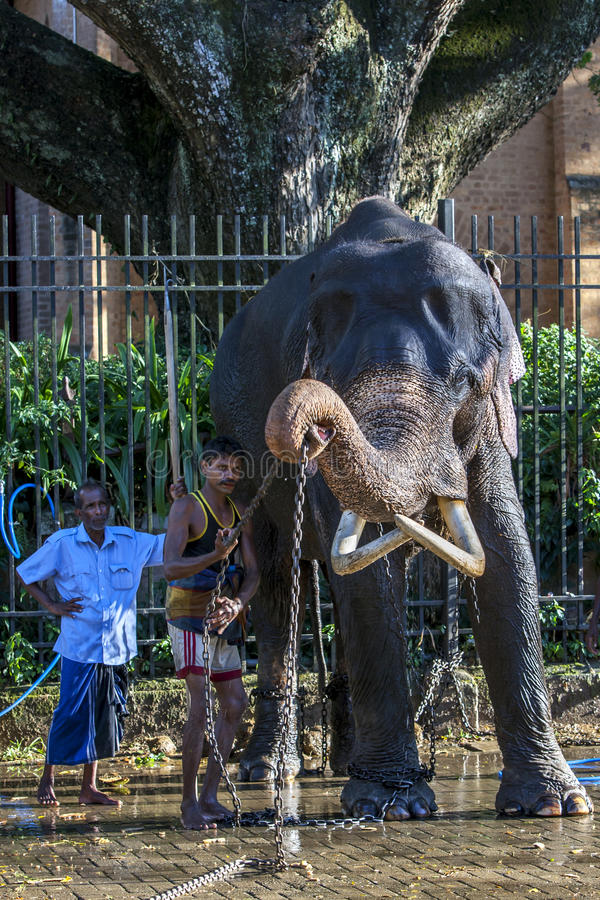 A ceremonial elephant being washed by a group of mahouts in the Temple of the Sacred Tooth Relic complex in Kandy, Sri Lanka. A ceremonial elephant lifts a stock photography