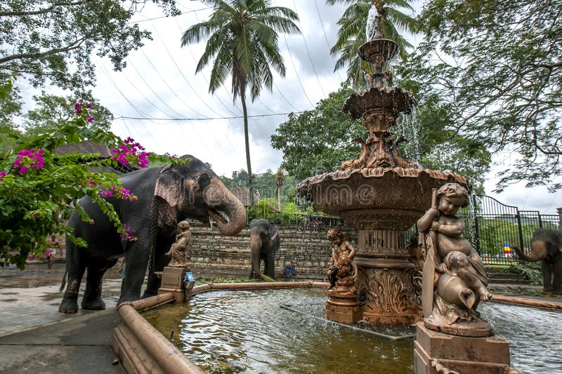 A ceremonial elephant at Kandy in Sri Lanka. A ceremonial elephant drinks water from a fountain adjacent to the Temple of the Sacred Tooth Relic at Kandy in Sri royalty free stock images
