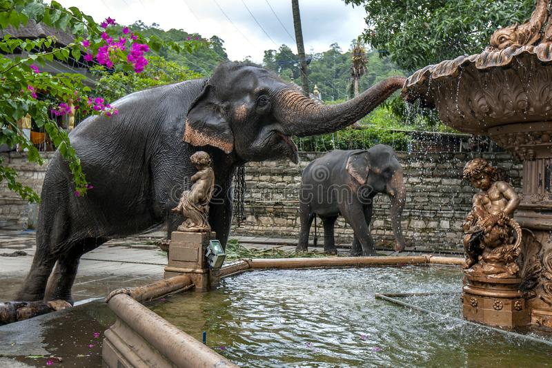 A ceremonial elephant in Sri Lanka. A ceremonial elephant drinks from a water fountain adjacent to the Temple of the Sacred Tooth Relic at Kandy in Sri Lanka stock photos