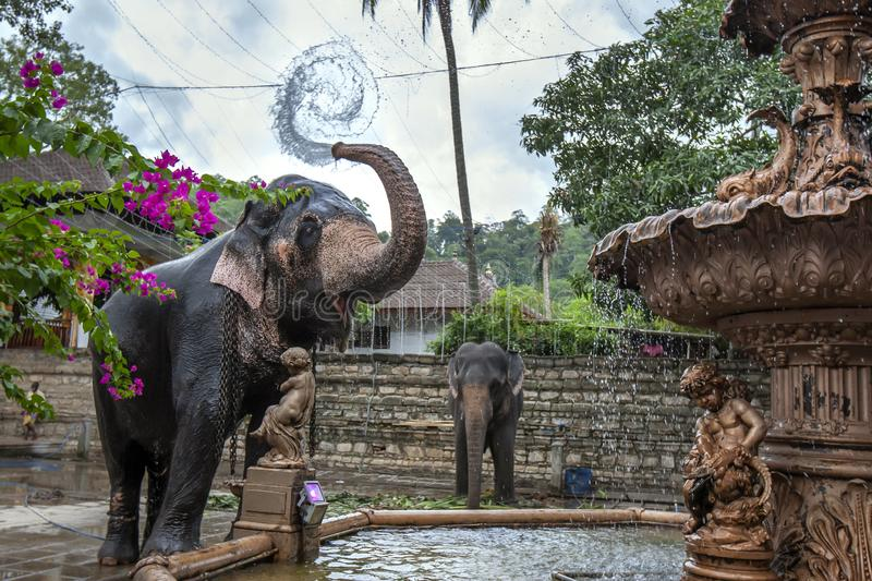 A ceremonial elephant in Sri Lanka. A ceremonial elephant sprays water from a fountain over its body adjacent to the Temple of the Sacred Tooth Relic at Kandy royalty free stock images