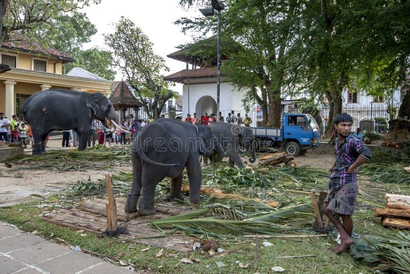 Ceremoniella elefanter i Kandy royaltyfria foton