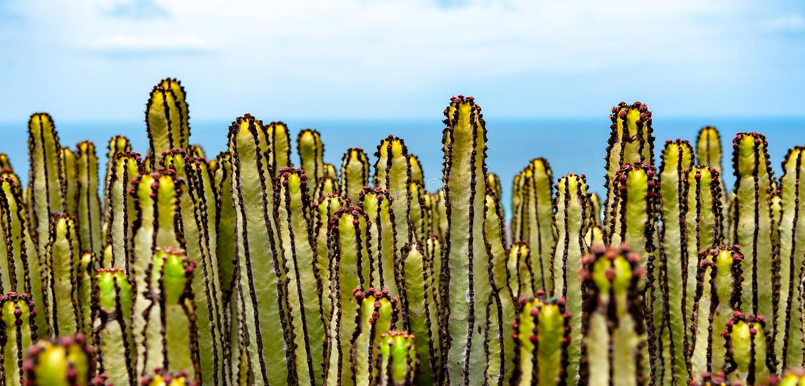 Cereus Cactus at the coast of Fuerteventura. Panoramical shot of cacti with the sea in the background. On the island of Fuerteventura, Spain royalty free stock image