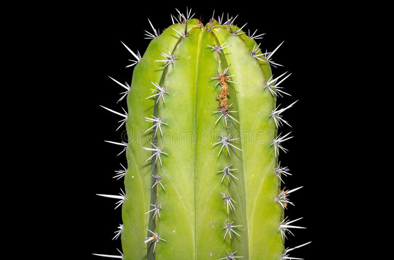 Cereus cactus royalty-vrije stock afbeelding