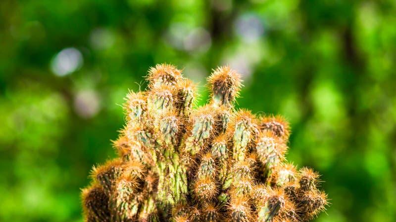 Cereus de cactus van peruvianusmonstrosus royalty-vrije stock foto's