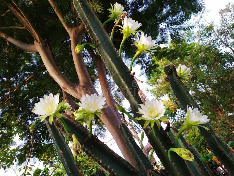 Cereus jamacaru cactus garden big beatiful thailand white green royalty free stock photo