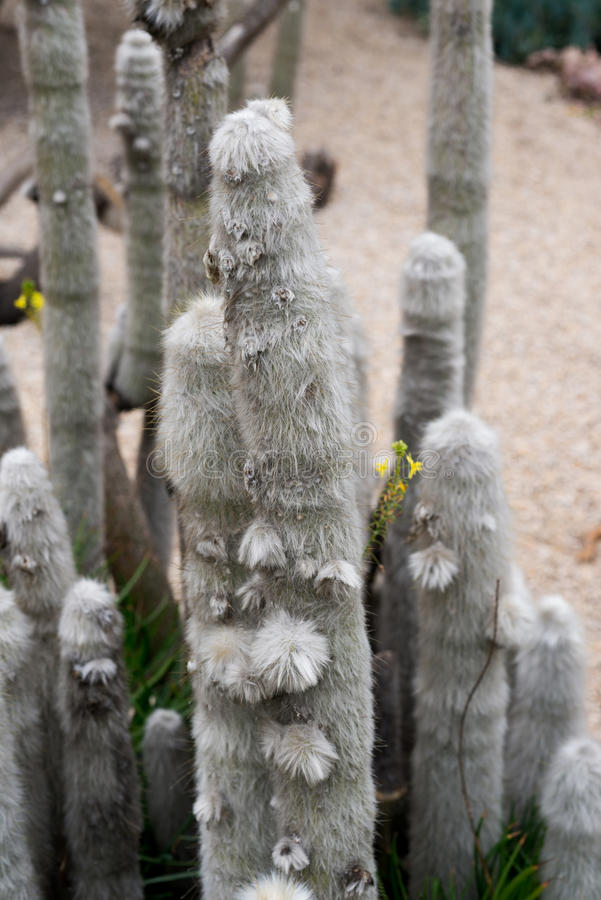 Cereus jamacaru. Detail of a cactus cereus jamacaru royalty free stock images
