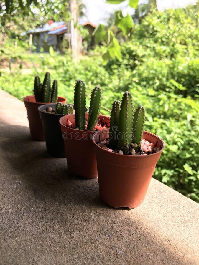 Cereus peruvianus cactus. In pot royalty free stock photo