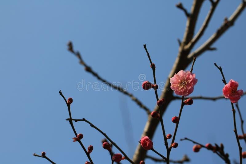 Cereza de la primavera fotos de archivo