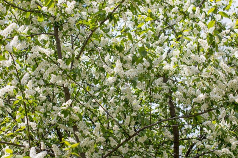 Cereza de pájaro blanca floreciente imágenes de archivo libres de regalías